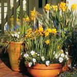 ασφόδελος-1-λουλούδια-μπαλκόνι