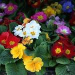 ηράνθεμο-1-λουλούδια-μπαλκόνι